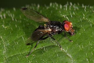 Seioptera vibrans - Rotstirnige Schmuckfliege (2)