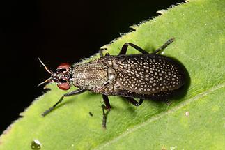 Coremacera marginata - Melierte Schneckenfliege (1)