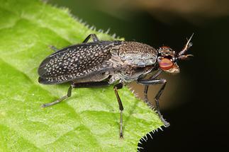 Coremacera marginata - Melierte Schneckenfliege (2)
