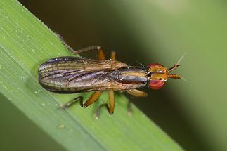 Limnia unguicornis - kein dt. Name bekannt (1)