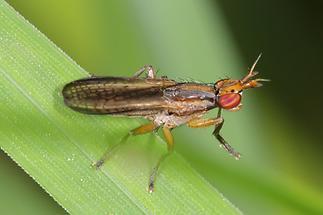 Limnia unguicornis - kein dt. Name bekannt (2)