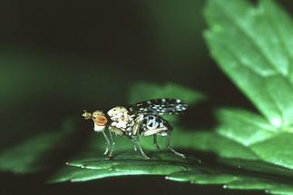 Trypetoptera punctulata - Gepunktete Hornfliege