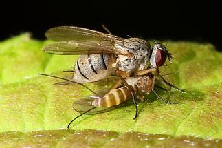Coenosia tigrina - Räuberische Fliege, mit Beute