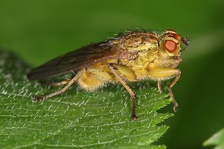Scatophaga stercoraria - Gelbe Dungfliege, Männchen (1)