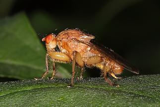 Scatophaga stercoraria - Gelbe Dungfliege, Männchen (2)