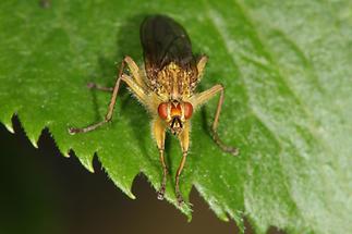 Scatophaga stercoraria - Gelbe Dungfliege, Männchen (3)