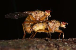 Scatophaga stercoraria - Gelbe Dungfliege, Paar