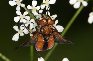 Ectophasia crassipennis - Breitflügelige Raupenfliege