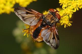 Ectophasia crassipennis - Breitflügelige Raupenfliege, Männchen (1)