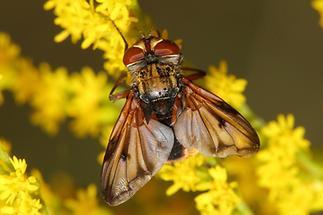 Ectophasia crassipennis - Breitflügelige Raupenfliege, Männchen (2)