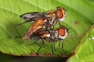 Ectophasia crassipennis - Breitflügelige Raupenfliege, Paar