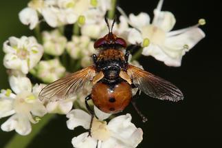 Gymnosoma cf. nudifrons - Baumwanzenfliege (1)