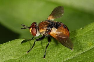 Gymnosoma cf. nudifrons - Baumwanzenfliege (2)
