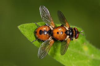 Gymnosoma cf. nudifrons - Baumwanzenfliege, Paar