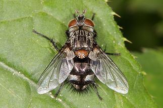 Huebneria affinis - kein dt. Name bekannt, Weibchen