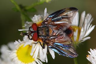 Phasia hemiotera - Wanzenfliege, Männchen (1)