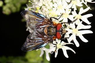 Phasia hemiptera - Wanzenfliege, Männchen (2)