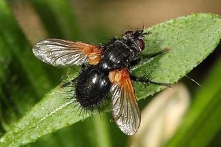 Zophomyia temula - kein dt. Name bekannt