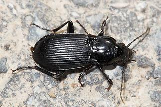 Abax parallelepipedus (P.M.) - Großer Breitkäfer, Käfer auf Weg