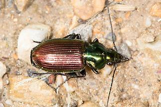 Agonum sexpunctatum - Sechspunktiger Putzkäfer, Käfer auf Weg