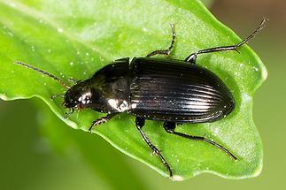 Amara cf. ovata - Ovaler Kanalkäfer, Käfer auf Blatt