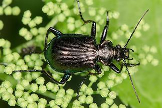 Calosoma inquisitor - Kleiner Puppenräuber, Käfer auf Dolde (1)