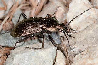 Carabus arvensis - Hügel-Laufkäfer, Käfer auf Weg (2)