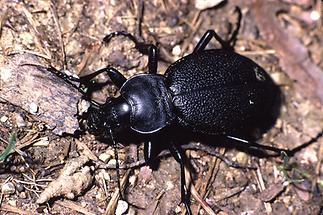 Carabus coriaceus - Lederlaufkäfer, Käfer am Wegrand