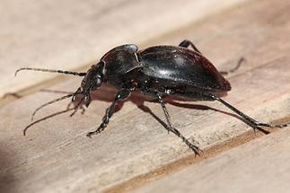 Carabus glabratus - Glatter Laufkäfer, Käfer auf Tisch