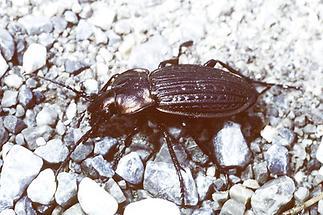 Carabus granulatus - Gekörnter Laufkäfer, Käfer auf Weg
