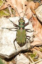 Cicindela campestris - Feld-Sandlaufkäfer, Käfer im Wald