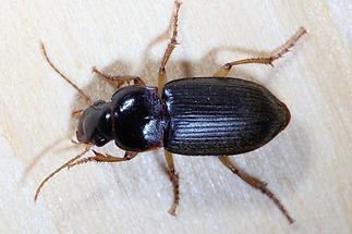 Harpalus griseus - Kleiner Acker-Schnellläufer, Käfer auf Holz
