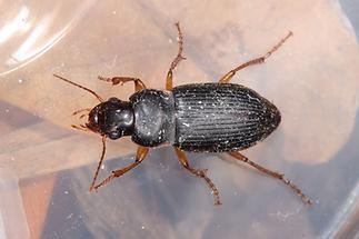 Harpalus griseus - Kleiner Acker-Schnellläufer, Käfer in Plastikdose