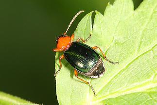 Lebia chlorocephala - Grünblauer Prunkkäfer, Käfer auf Blatt