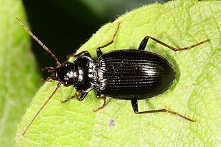 Nebria brevicollis - Pechschwarzer Dammläufer, Käfer auf Blatt