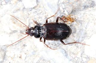 Nebria brevicollis - Pechschwarzer Dammläufer, Käfer auf Weg