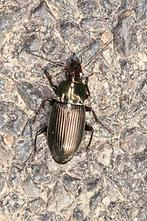 Poecilius cf. versicolor - Kupferfarbener Buntgrabläufer, Käfer auf Weg (1)