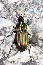 Poecilus cf. versicolor - Kupferfarbener Buntgrabläufer, Käfer auf Weg (2)