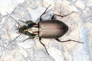 Poecilus cf. versicolor - Kupferfarbener Buntgrabkäfer, Käfer auf Weg (3)