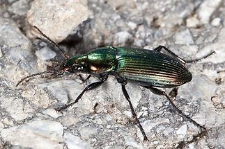 Poecilus cupreus - Kupferfarbener Buntgrabläufer, Käfer auf Weg