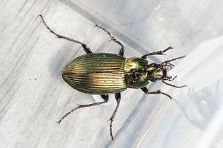 Poecilus cupreus - Kupferfarbener Buntgrabläufer, Käfer in Plastikdose