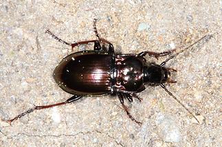 Pterostichus burmeisteri - Metallischer Grabkäfer, Käfer an Wand (2)