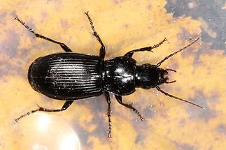 Pterostichus melas - kein dt. Name bekannt, Käfer in Plastikdose
