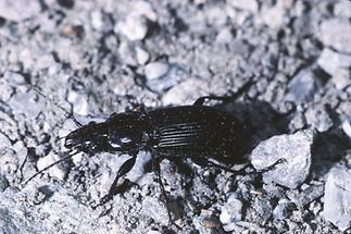 Pterostichus melanarius - Gemeiner Grabkäfer, Käfer auf Weg