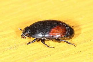 Atholus bimaculatus - kein dt. Name bekannt, Käfer auf ... (2)