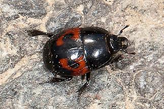 Hister quadrimaculatus - Vierfleck-Gaukler, Käfer am Boden