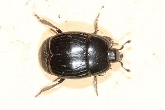 Margarinotus cf. obscurus - kein dt. Name bekannt, Käfer auf Mauer (1)