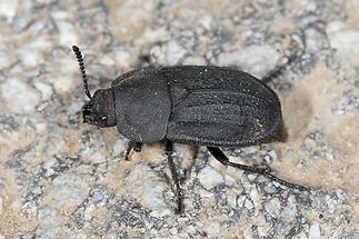 Blitophaga undata - kein dt. Name bekannt, Käfer auf Weg