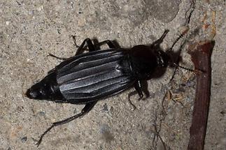 Necrodes littoralis - Ufer-Totengräber, Käfer auf Beton