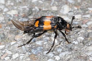 Nicrophorus vespilloides - Schwarzhörniger Totengräber, Käfer am Boden